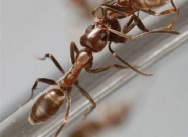 Formigas enviam mensagens químicas
