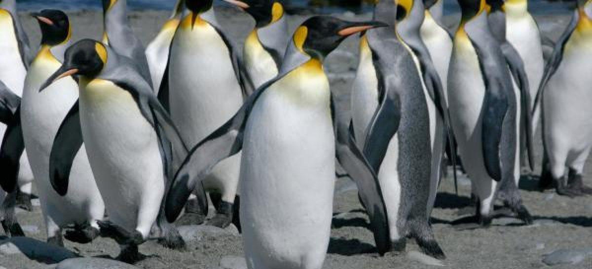 Pesquisadores encontram vírus da gripe entre pinguins na Antártida