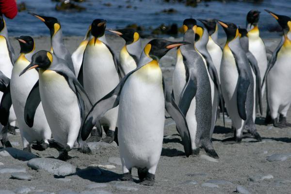 king-pinguins-maria-joao-rodrigues