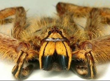 Nova espécie de aranha é batizada de David Bowie