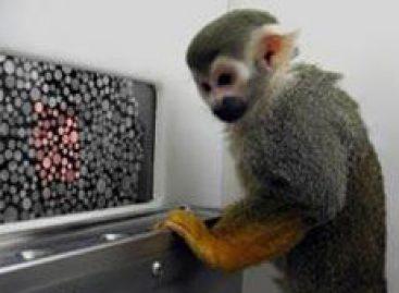 Cientistas curam daltonismo em macacos com terapia genética