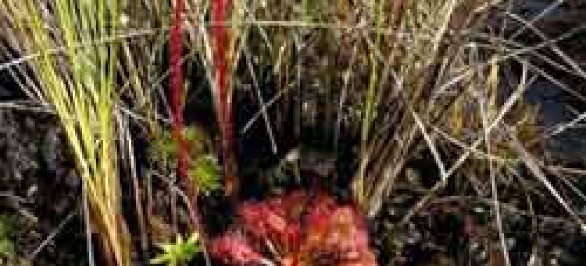 Encontrada espécie rara de planta insetívora no Pará