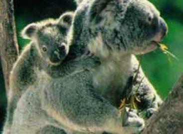 Coalas podem ser extintos em 30 anos