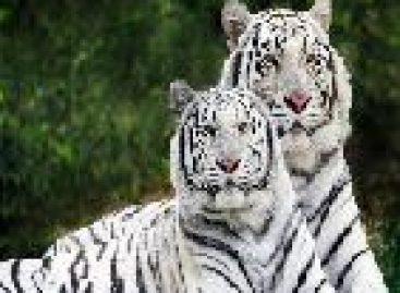 O maior tigre do mundo corre grande risco de extinção
