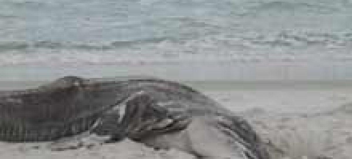 Tubarão bocão é encontrado em Arraial do Cabo, na Região dos Lagos (RJ)