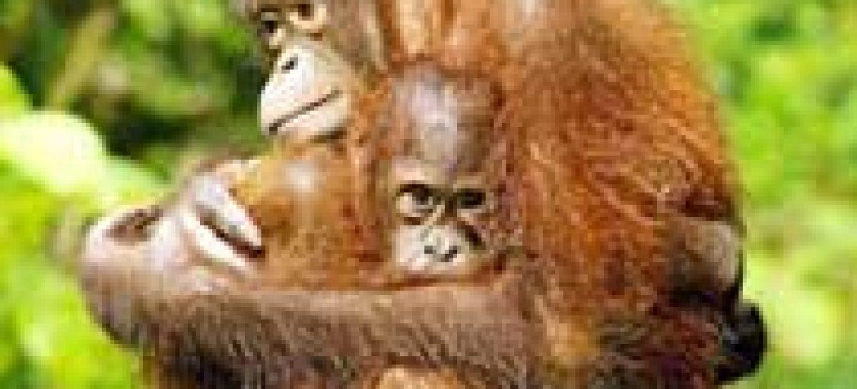 Orangotangos mortos ilegalmente na última década: 20 mil. Processos judiciais: zero