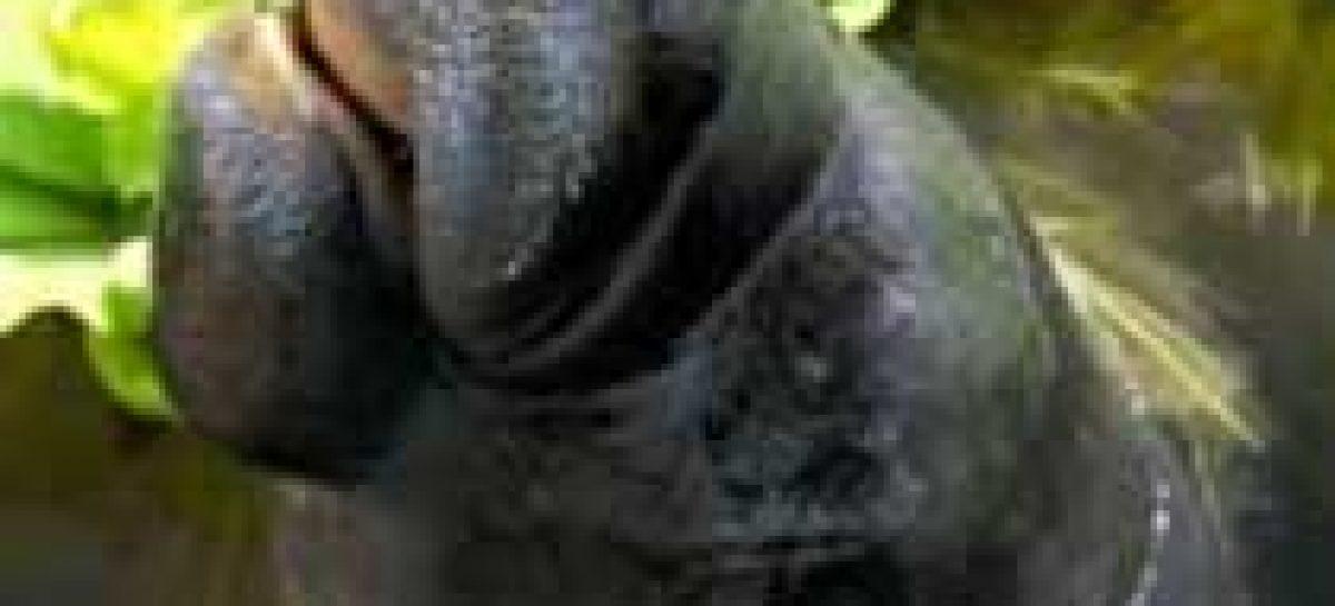 Parente do peixe-boi é encontrado em Madagáscar