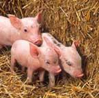 porcos_daibetes