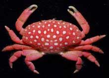 caranguejo-morango