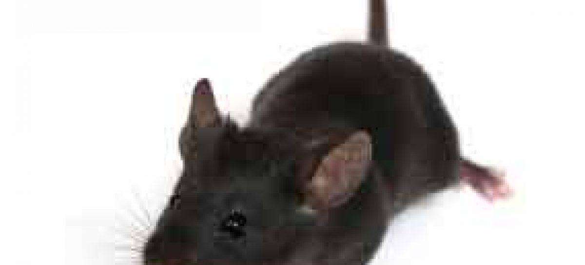 Mudança de cromossomo causa autismo em ratos