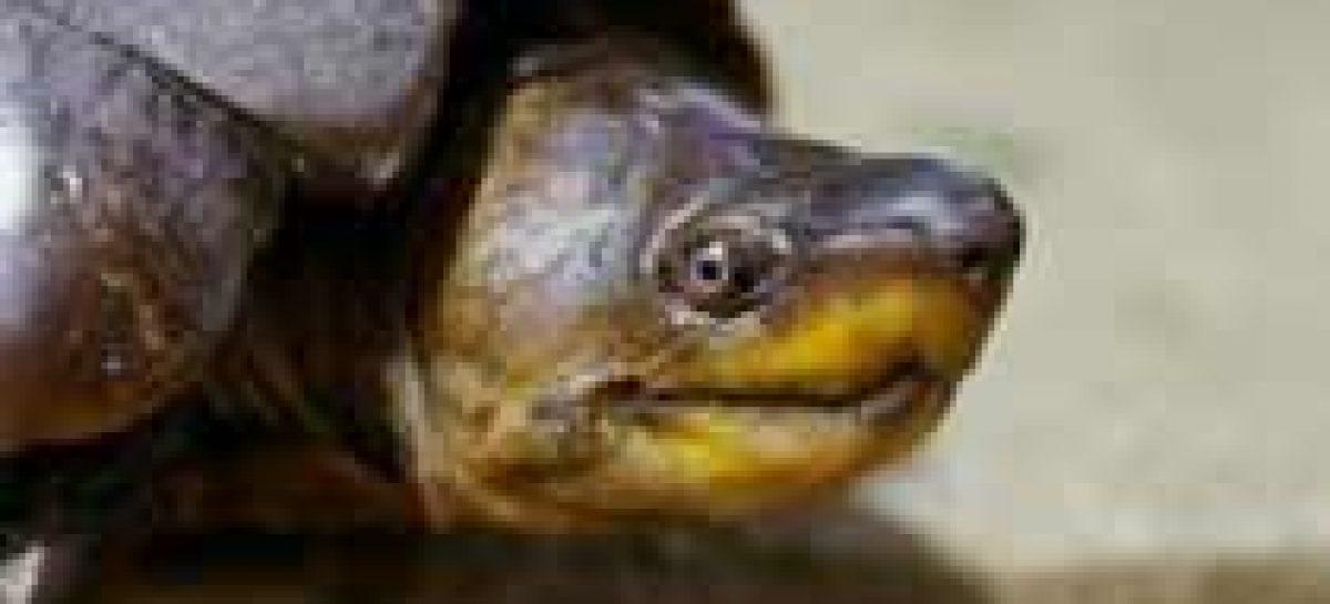 Comércio ilegal devasta população de tartarugas em risco de extinção