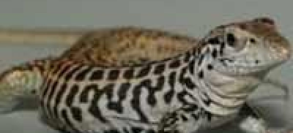 Fêmeas de lagartos cruzam os próprios cromossomos para procriar