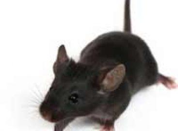 Infecção de hepatite é induzida e eliminada em ratos com células humanas
