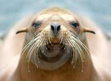 Filhotes de leão-marinho sofrem com falta de alimento na Califórnia