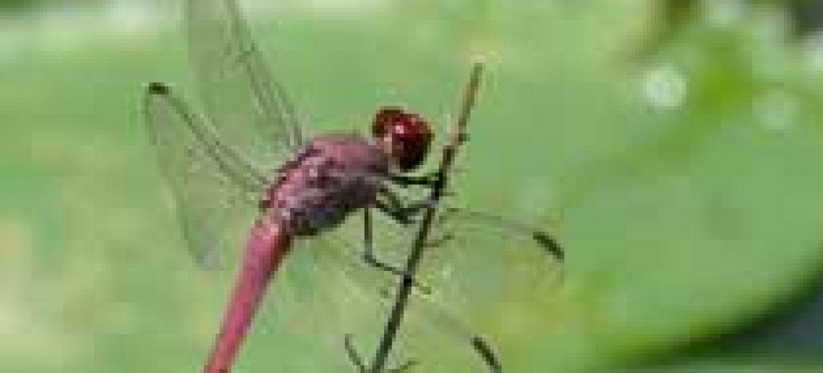Libélulas vão combater mosquito da dengue em SP