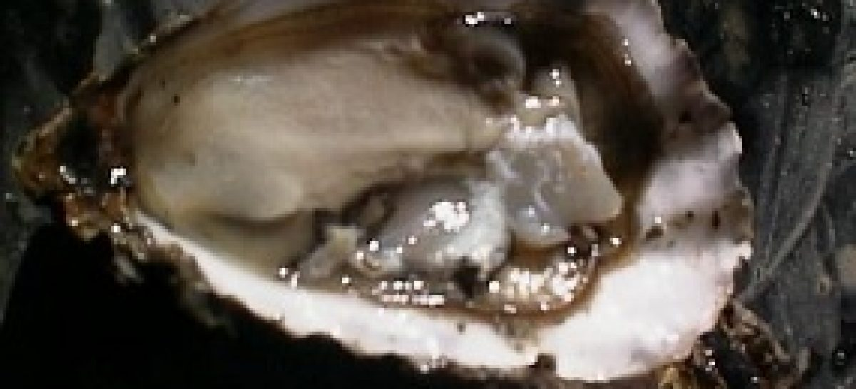 Pesquisa busca o extrativismo sustentável da ostra em Raposa