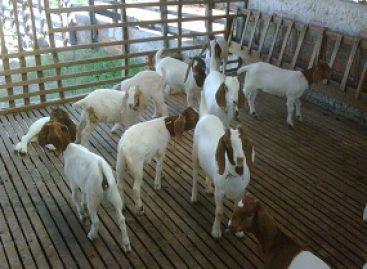 Efeito do extrato de acácia no controle de vermes de caprinos é tema de pesquisa apoiada pela FAPEMA