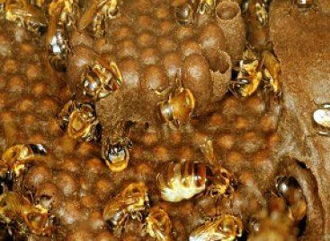 Ciclo de vida das abelhas jandaíra é identificado nos lençóis maranhenses