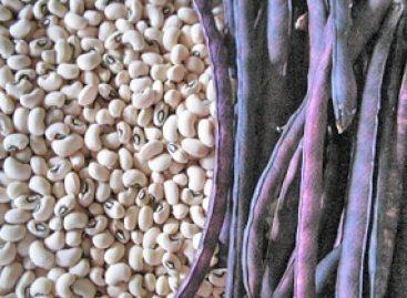 Alternativas para prática de manejo de soja e feijão são aplicadas na região do baixo Parnaíba