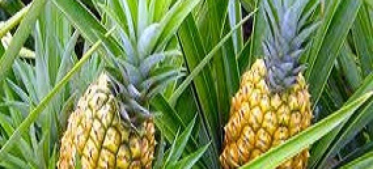 Pesquisa propõe melhoramento genético do abacaxi de Turiaçu