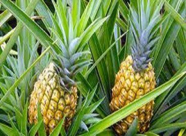Sucesso do abacaxi de Turiaçu alcança o país e é objeto de pesquisa