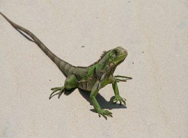 Preservação de anfíbios e répteis da fauna maranhense é buscada em projeto de extensão