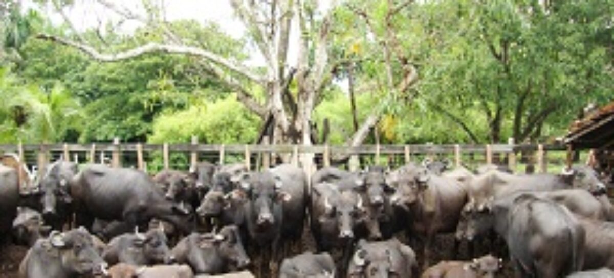Prêmio FAPEMA 2013: Identificados os fatores de risco associados à tuberculose em búfalos