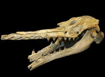 Baleia de 28 milhões de anos usava sistema de ecolocalização, diz estudo