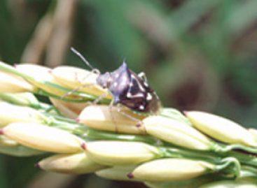 Estratégia de controle biológico é usada no combate a pragas no cultivo de arroz