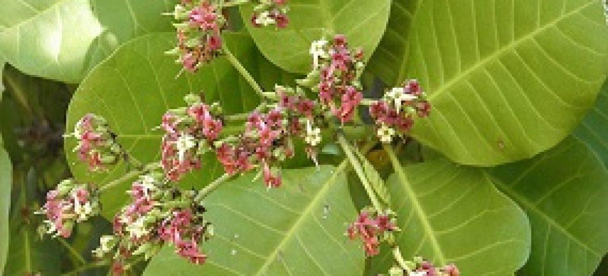 Flor do cajueiro pode ajudar no tratamento contra o diabetes, revela estudo apoiado pela FAPEMA