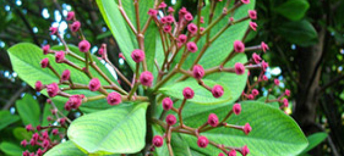 Potencial antioxidante de plantas medicinais maranhenses é usado no tratamento de Parkinson
