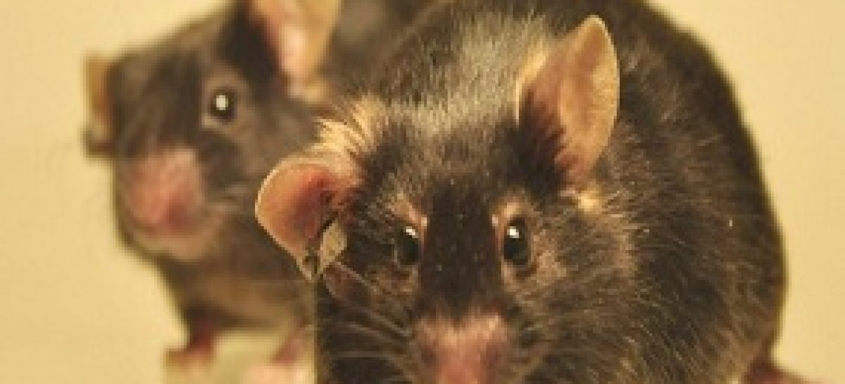 Flora maranhense é usada em roedores no tratamento de diabetes