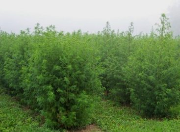 Novo uso para a planta conhecida como losna é alternativa no combate à malária
