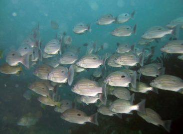 Cultivo do peixe-pedra pode gerar ganhos à economia local