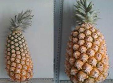 Pesquisa apoiada pela Fapema busca melhorar geneticamente o abacaxi de Turiaçu