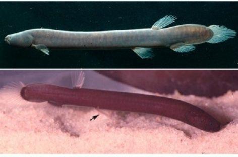 Descoberta nova família de peixes amazônicos, a primeira em 40 anos