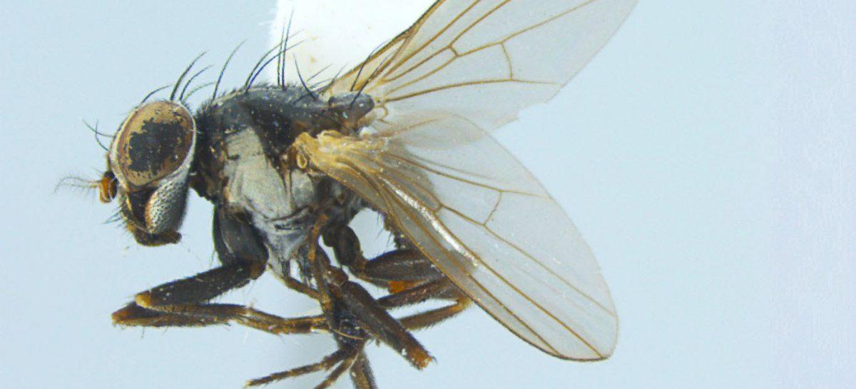 Pesquisadores da UEMA e do INPA descobrem e descrevem um novo gênero de mosca: Inpauema