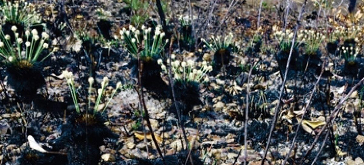 Identificada planta que floresce no Cerrado apenas um dia depois de queimada