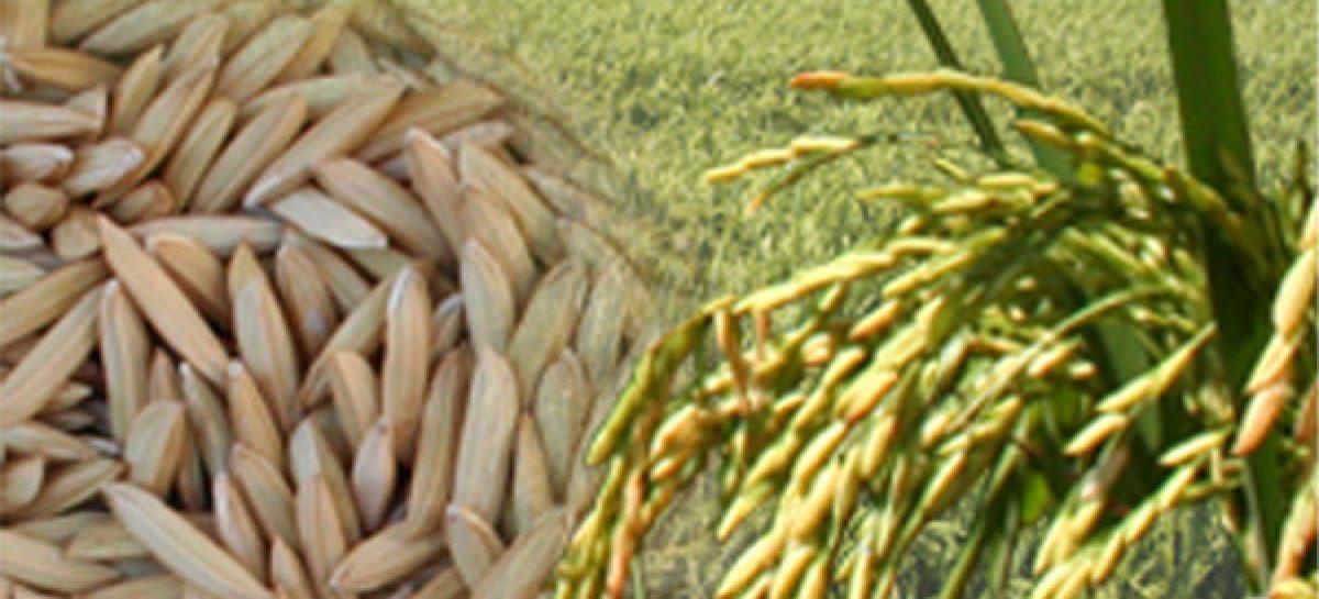 Embrapa Cocais, UEMA e Senar realizam dia de campo sobre cultura do arroz