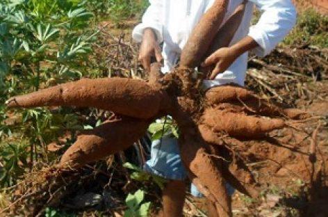 Dia de campo mostra resultados da mandioca biofortificada BRS Jari