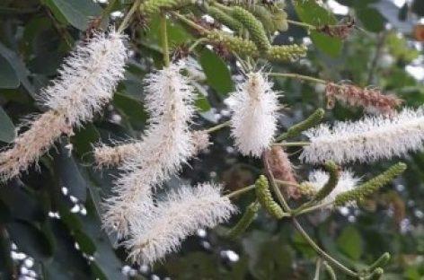 Compostos de planta do Cerrado combatem fungo causador da candidíase